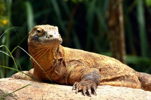 Komodo Dragon in Indonesia